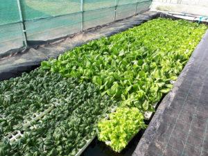 colture con acquaponica in serra