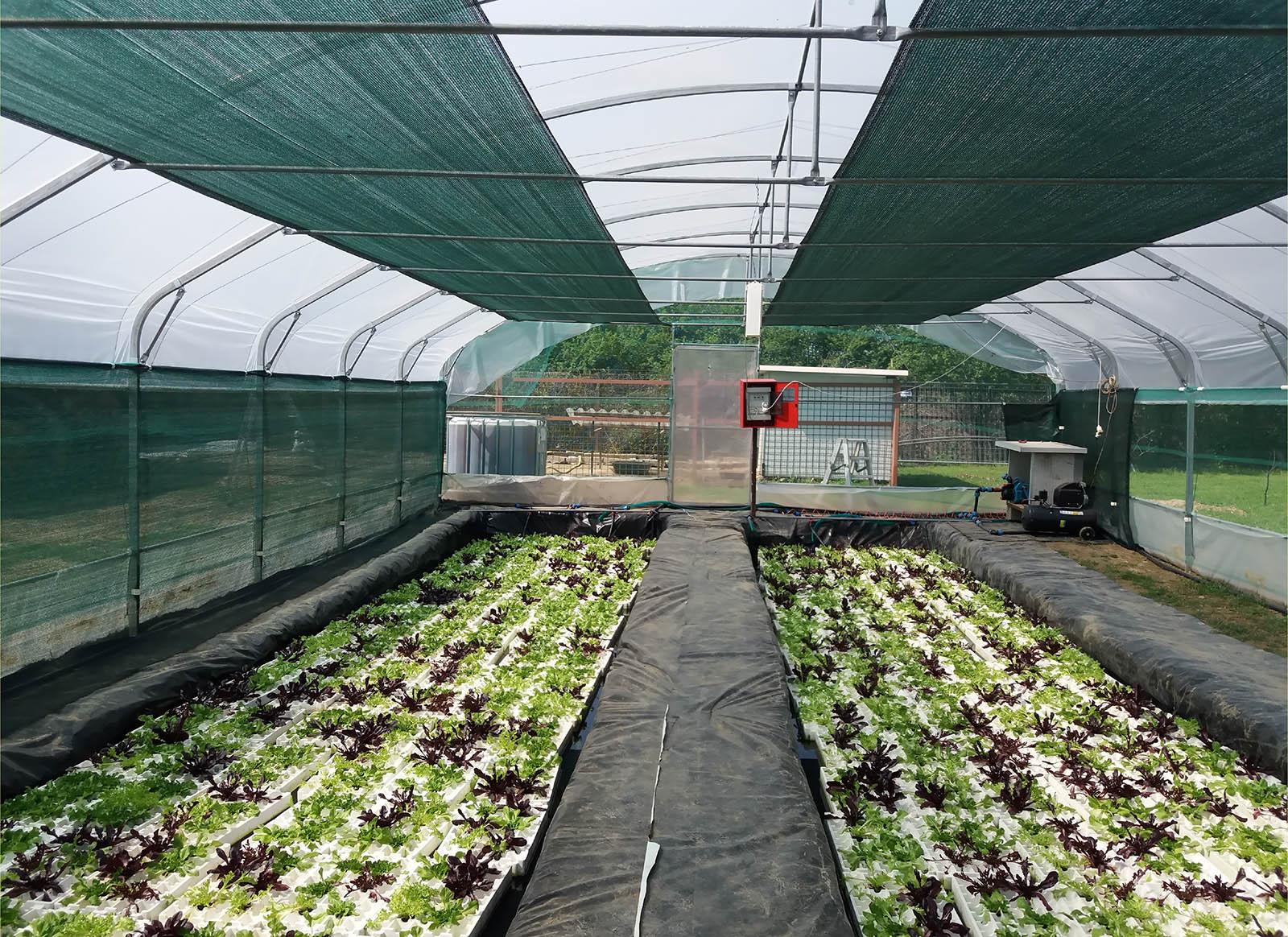 coltivazione insalata con acquaponica